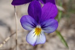 Viola tricolor ssp. curtisii